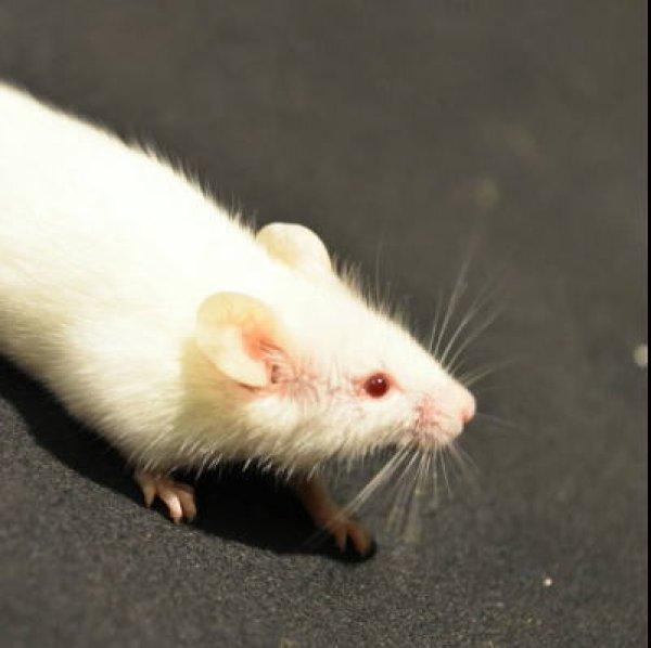 画像1: 国産 冷凍マウス アダルト L 1袋 (10匹) (1)